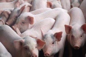 Dịch tả lợn châu Phi lan rộng, giá thịt lợn tiếp đà suy giảm