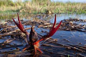 Phân biệt tôm hùm đất bị cấm khai thác với tôm hùm đỏ