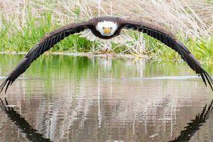Bức ảnh đại bàng đầu trắng 'bắc cầu qua mặt nước' gây sốt mạng xã hội