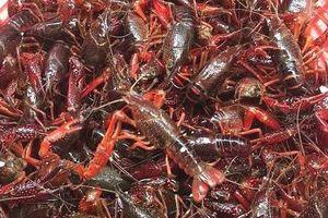 Việt Nam từng nuôi thử nghiệm tôm càng đỏ và tôm hùm nước ngọt
