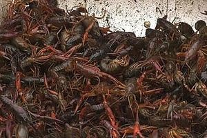 Hải quan Quảng Ninh tăng cường kiểm soát tôm càng đỏ