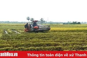 Huyện Yên Định: Năng suất lúa chiêm xuân đạt 72 tạ/ha