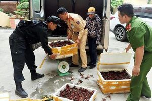 Thu giữ 3 thùng tôm hùm đất nhập lậu vào Việt Nam