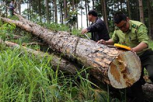 Bắt tạm giam 3 đối tượng phá hơn 10ha rừng ở Lâm Đồng