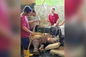 Loài tê giác hai sừng chính thức tuyệt chủng trong tự nhiên tại Malaysia