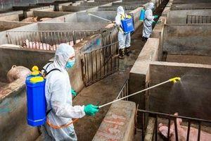 Hà Nội cấp bổ sung 145.467 lít hóa chất phòng, chống bệnh dịch tả lợn châu Phi
