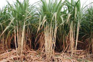 Bộ NN&PTNT đề nghị công nhận hoạt động sản xuất, kinh doanh mía đường tại Phú Yên