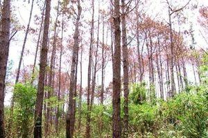 Khởi tố 3 kẻ 'đầu độc' hàng ngàn cây thông ở Lâm Đồng
