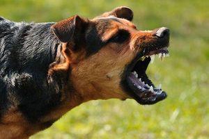 Phong tỏa cả đoạn phố để bắt 3 chó dữ thả rông, không rọ mõm