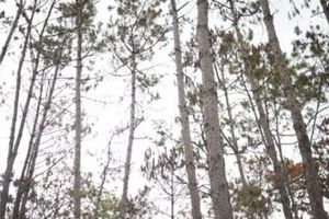 Thông tin mới vụ hơn 3.500 cây thông bị 'đầu độc' ở Lâm Đồng