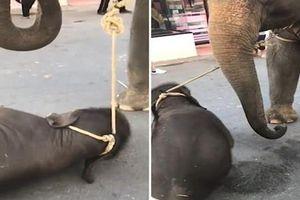 Đau lòng voi con gục dưới chân mẹ chở khách du lịch