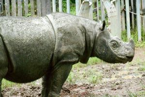 Cá thể tê giác đực Sumatra cuối cùng của Malaysia đã chết