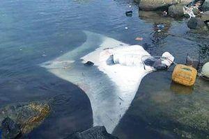 Ngư dân Lý Sơn lại bắt được cá đuối 'khủng' 600kg