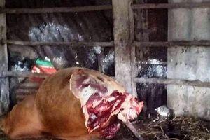 Hy hữu: Trộm xẻo hai đùi sau của bò đang mang thai để lại bộ xương cho gia chủ