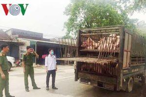 Xe chở lợn dịch 'chui lọt' qua hàng loạt chốt kiểm dịch