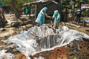 Vĩnh Long đã có 10 ổ dịch tả lợn Châu Phi tại 3 huyện, thị xã
