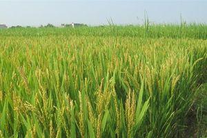 Hà Nội: Sản xuất lúa Japonica xuất khẩu