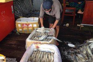 Giá cá chét tăng, ngư dân phấn khởi