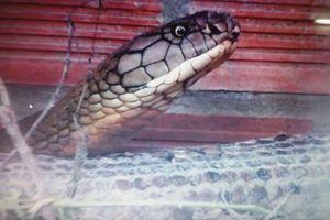 Thả cặp rắn hổ mây 'khủng' ở Núi Cấm về thiên nhiên