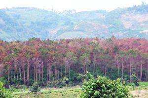 Không giữ được rừng, hàng loạt dự án đầu tư liên quan đến rừng bị thu hồi