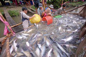 Cá tra Việt đã 'bơi' tới Bắc Kinh, Thượng Hải