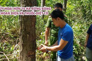 Hủy hoại hơn 10 ha rừng thông bằng khoan điện và thuốc diệt cỏ