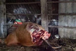 Quảng Bình: Hy hữu bò nhốt trong chuồng bị cắt trộm 2 đùi sau