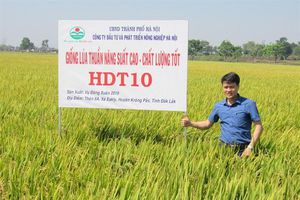 Lúa HDT10 - chất lượng cao, cho thu nhập cao