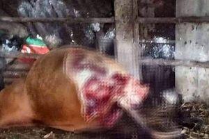 Kẻ gian xẻo trộm 2 đùi con bò đang mang thai của lão nông Quảng Bình