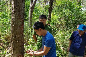 Hủy hoại hơn 10 ha rừng thông tại Lâm Đồng: Khởi tố kẻ chủ mưu đang trốn