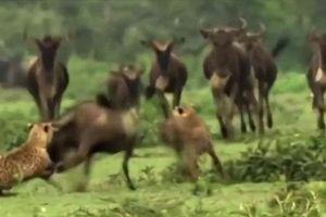 Đàn linh dương bỏ chạy tán loạn nhưng vẫn không thoát khỏi nanh vuốt của kẻ thù