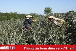 Huyện Như Xuân có 21 ha dứa gai được liên kết bao tiêu sản phẩm