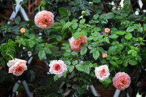 Lối vào nhà đẹp như mơ với hoa hồng rực rỡ trong sắc nắng Sài Gòn