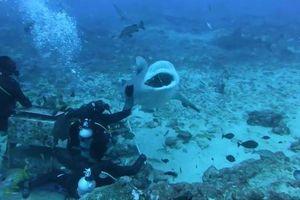 Thợ lặn cho cá mập ăn ngay dưới biển ở đảo Fiji
