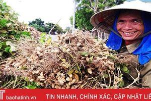 Lạc được mùa được giá, nông dân Lộc Hà phấn khởi