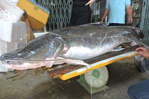 Cận cảnh cá lăng đuôi đỏ nặng gần 80kg bắt được trên sông Sêrêpốk