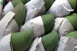 30 tấn xoài Sơn La xuất khẩu sang Trung Quốc
