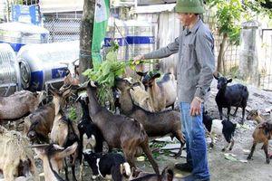 Sơn La: Đưa dê lên đồi chăn thả người dân thu hàng trăm triệu mỗi năm
