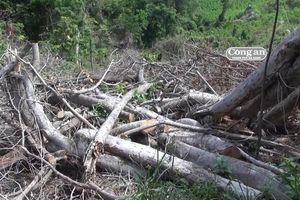 Rừng tan hoang vì dự án trồng… rừng!