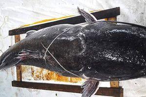 Cận cảnh cá lăng đuôi đỏ 'khủng' dính câu ở Đắk Lắk