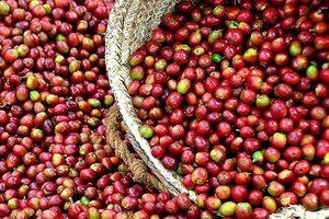 Cà phê áp sát mốc 34.000 đồng trong phiên đầu tuần