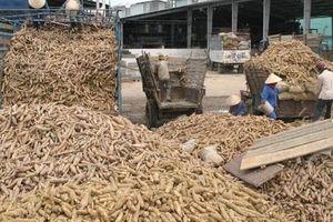 Xuất khẩu sắn lao đao vì Trung Quốc siết nhập khẩu