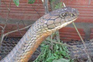 Những cuộc xả súng tiêu diệt rắn khổng lồ ở rừng Phú Quốc