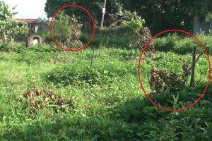3 sào cây ăn quả của người dân Hưng Yên bị chặt phá chỉ sau một đêm
