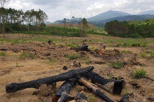Chủ tịch tỉnh Lâm Đồng cấp tốc ra công điện về vụ đầu độc 10ha rừng thông