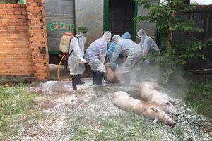 Quảng Trị tiêu hủy hàng trăm con lợn, Đắk Lắk xuất hiện thêm các ổ dịch tả lợn châu Phi mới