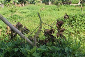 Xót xa nhìn 3 sào cây ăn quả của người dân Hưng Yên bị kẻ gian chặt phá chỉ sau 1 đêm