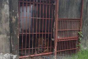Hổ từng tấn công người ở cả 3 cơ sở nuôi nhốt tại Bình Dương