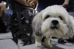 Nuôi chó thuần chủng giá 10.000 USD - thú chơi xa xỉ của nhà giàu Mỹ