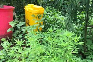 Gia Lai: Phát hiện hơn 200 cây cần sa trồng trong vườn của người dân